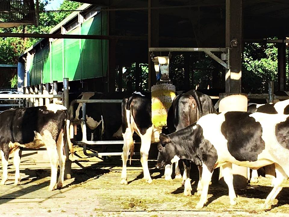 讓牛隻習慣聲音,面對聲音刺激才能保持安定。(攝影/蔡旻蓉)