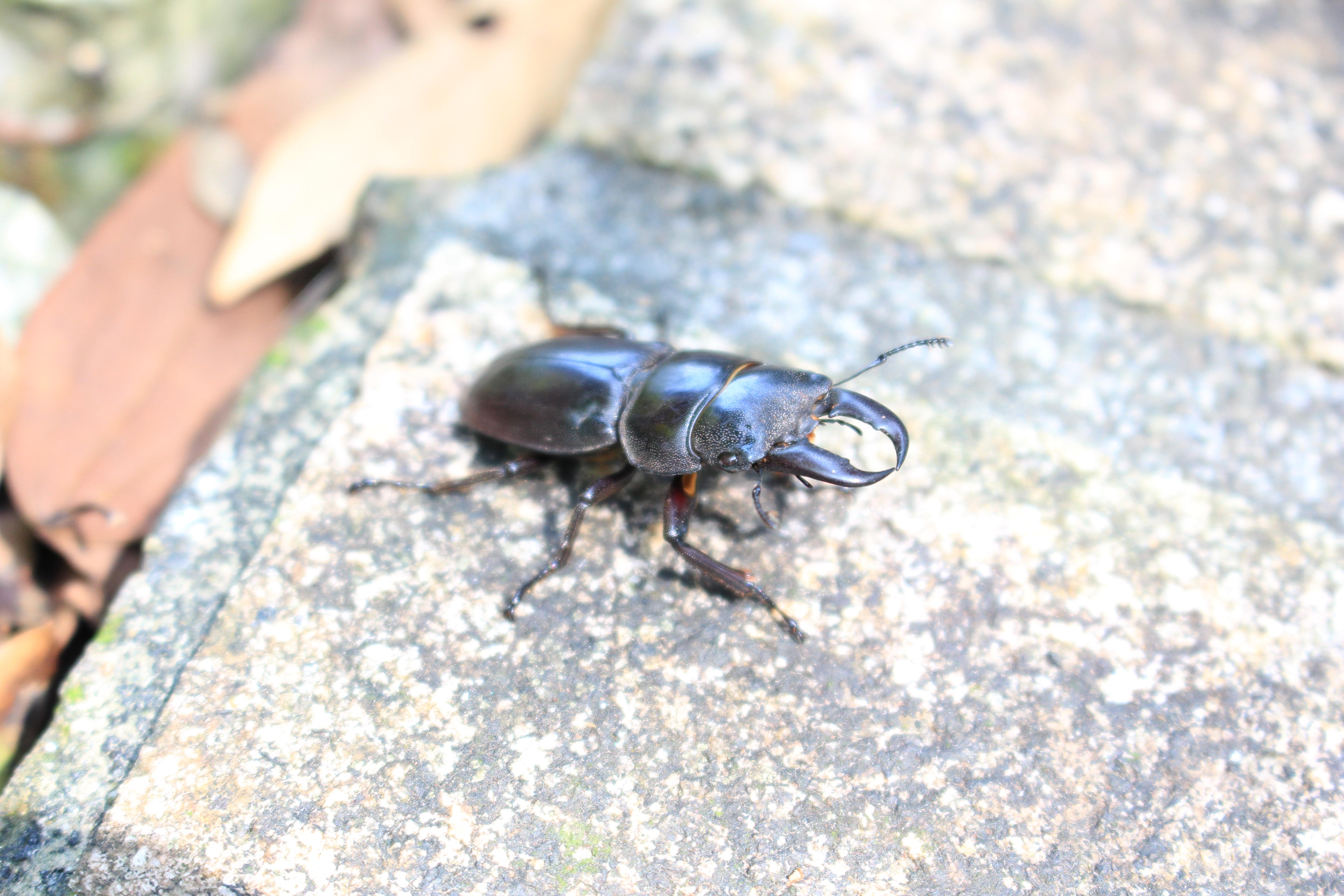 仙跡岩昆蟲多樣,包含多種保育類,圖為鍬形蟲。攝影/郭育伶。