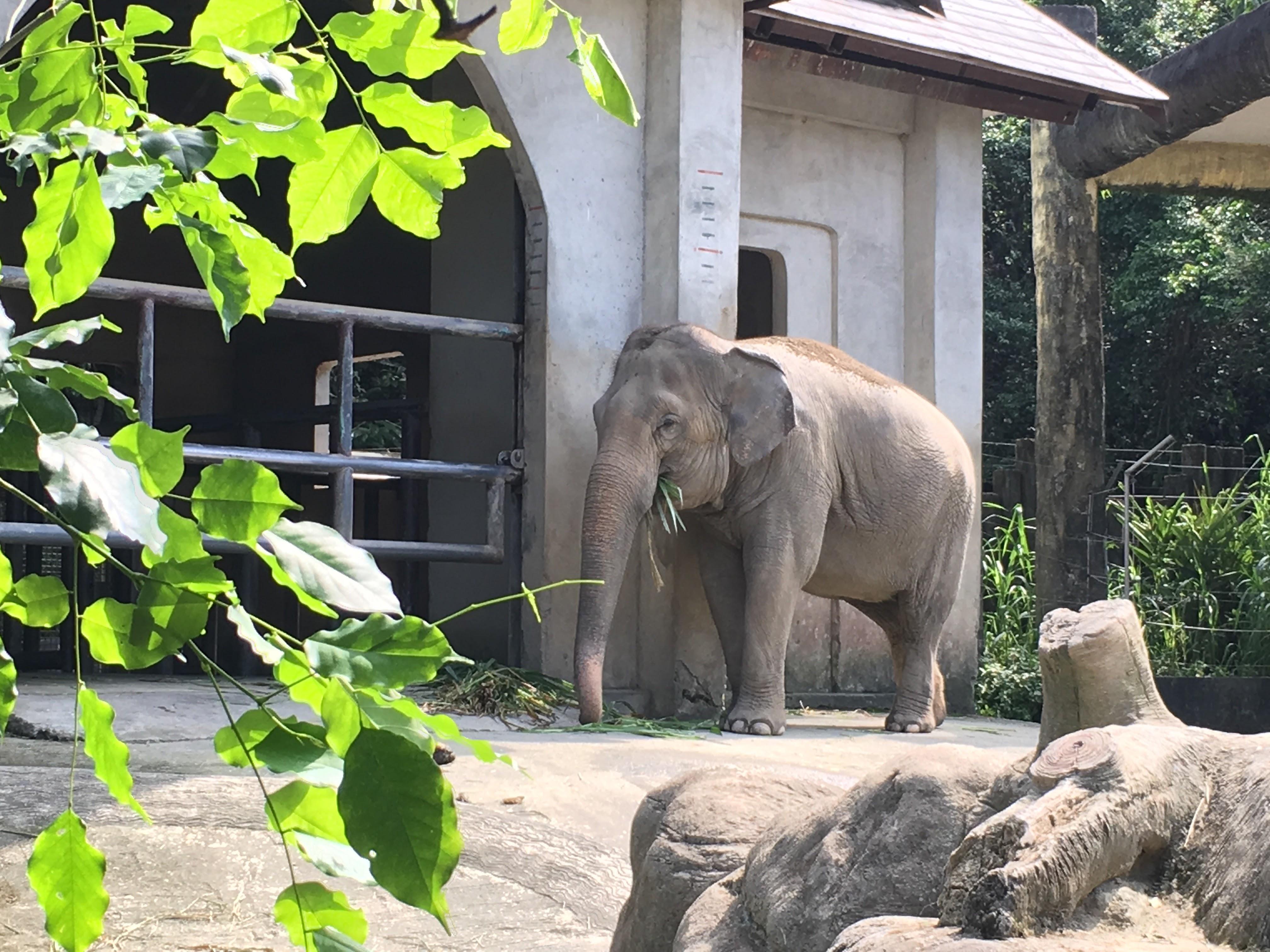 台北市立動物園非洲區非洲象。攝影/范家瑢