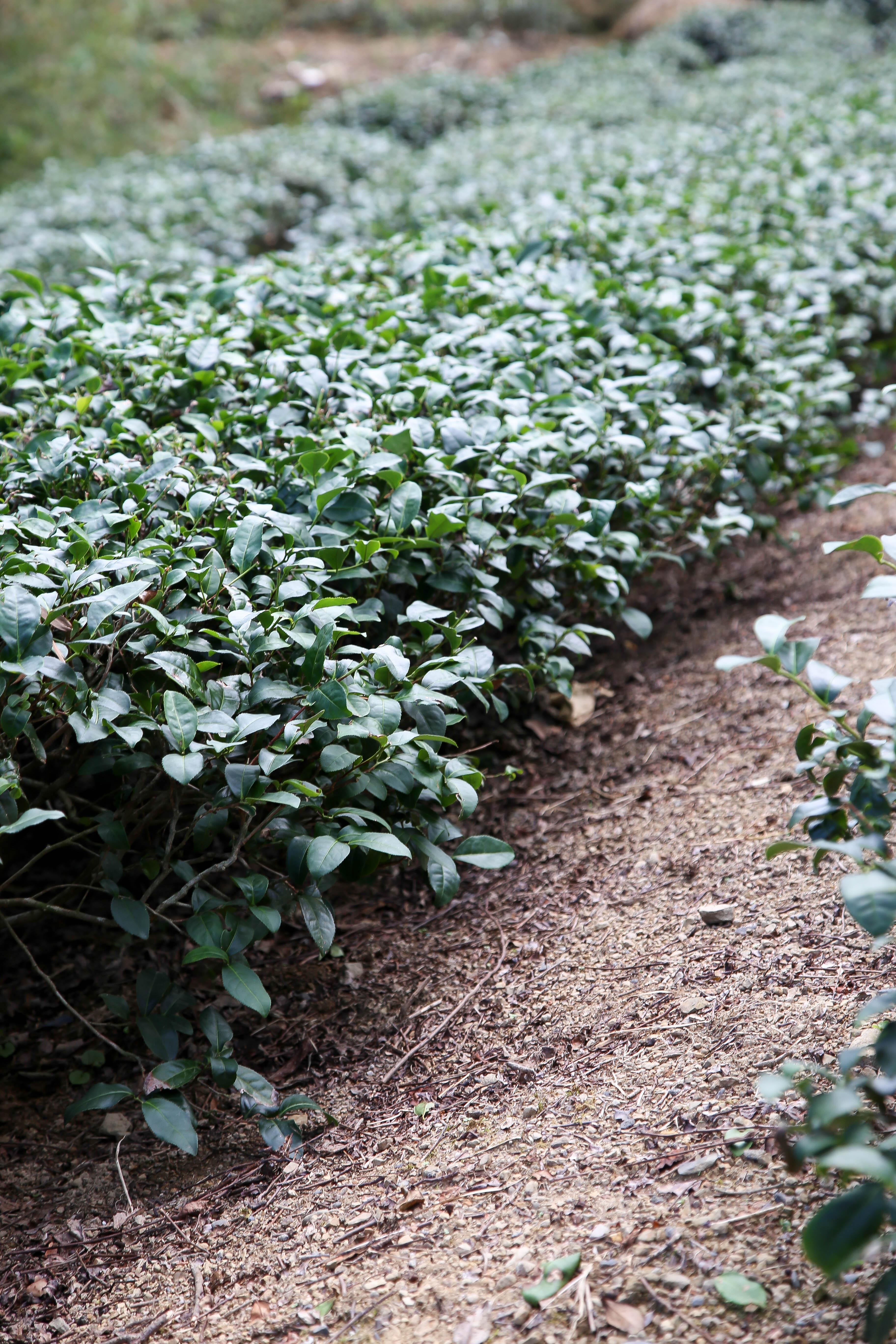 普通茶園無雜草,茶葉種植整美觀
