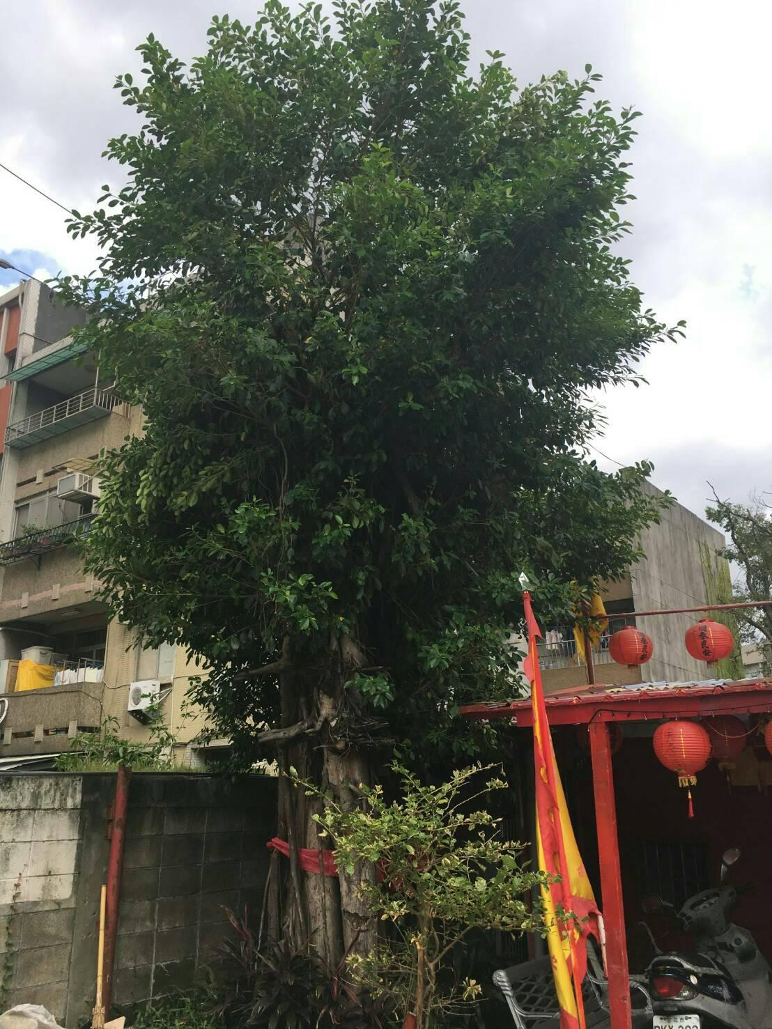 萬有里百年老樹「榕樹公」。
