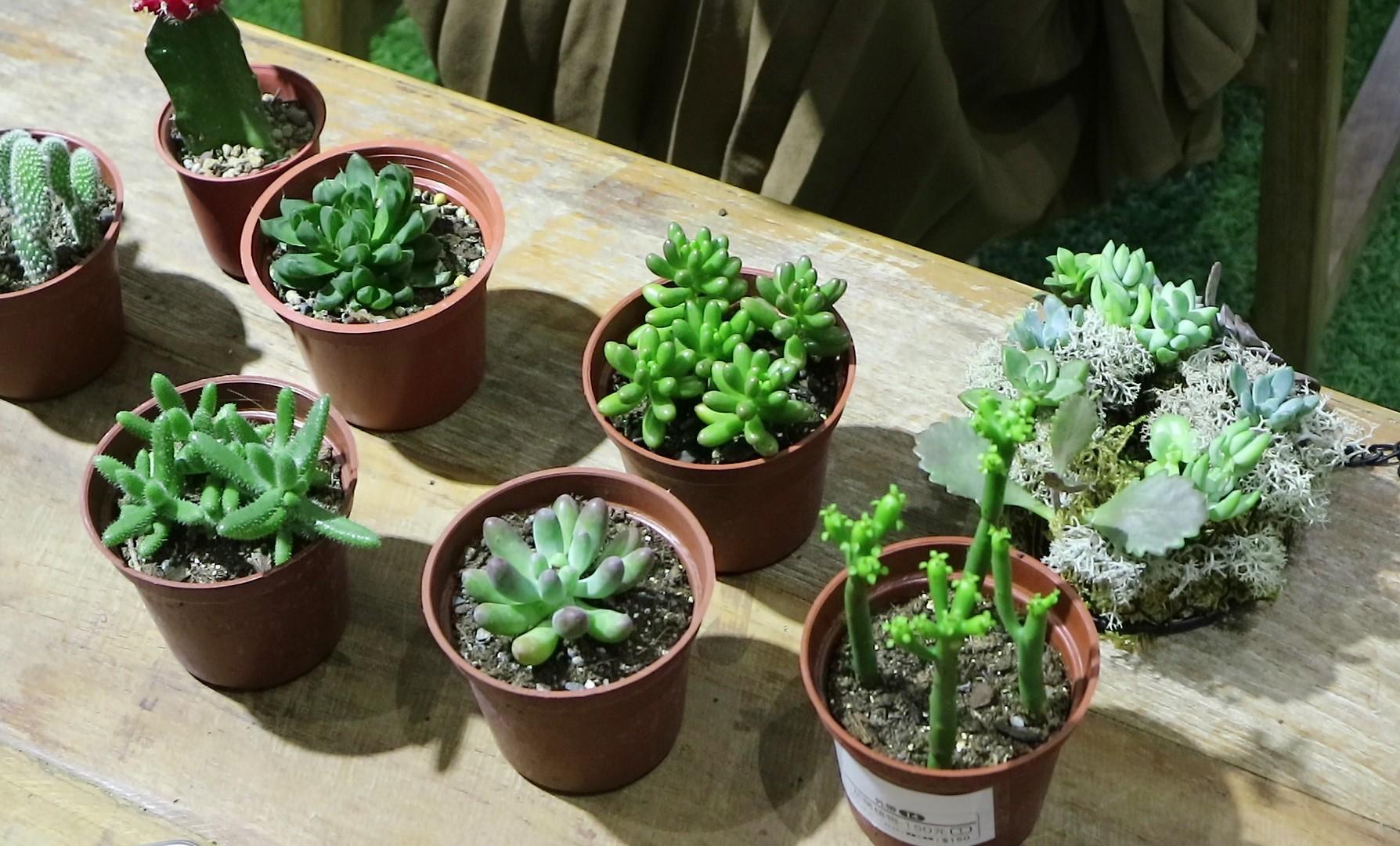 常見多肉植物包括百合科、番杏科、景天科、大戟科等