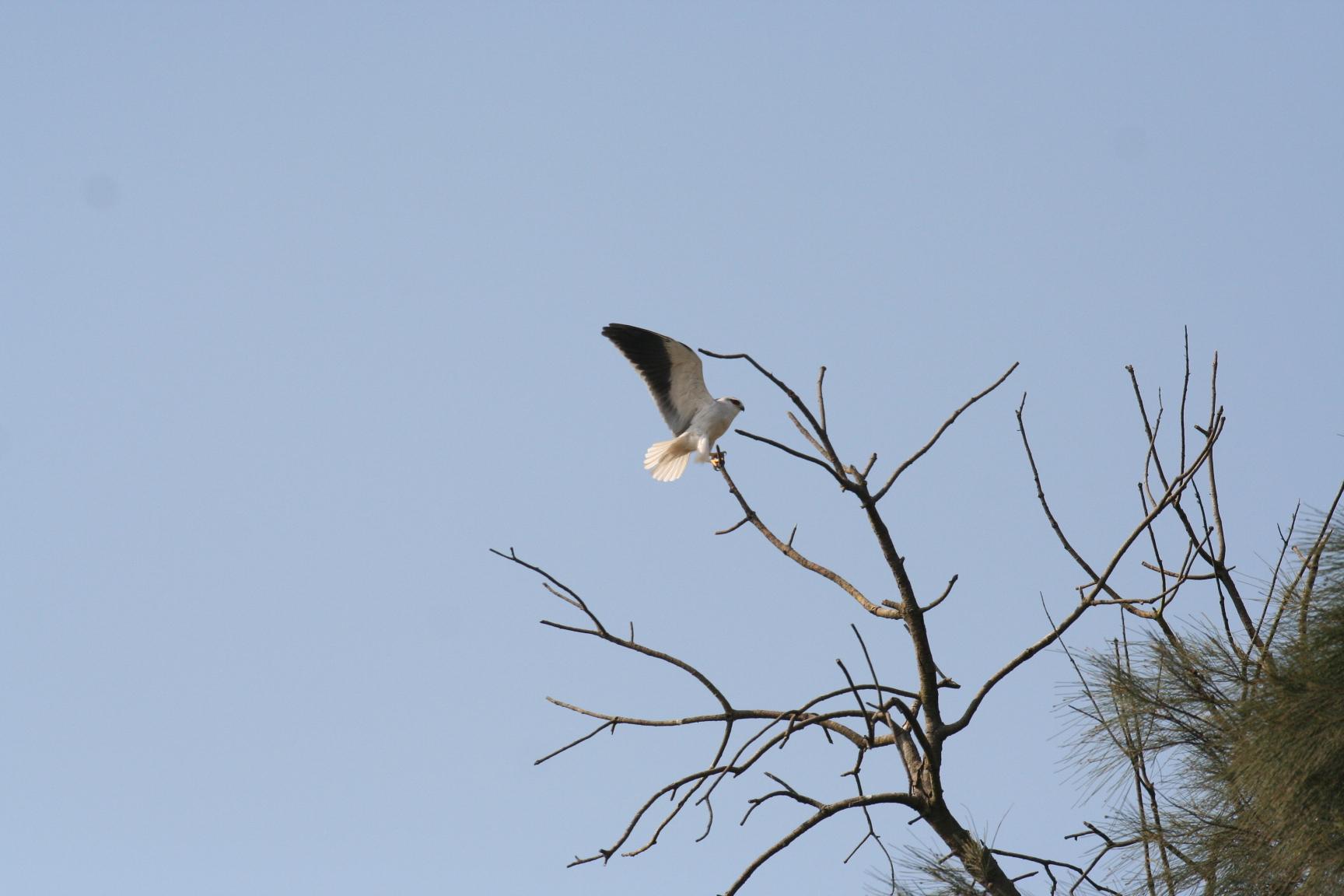 黑翅鷹。攝影/何一先提供。