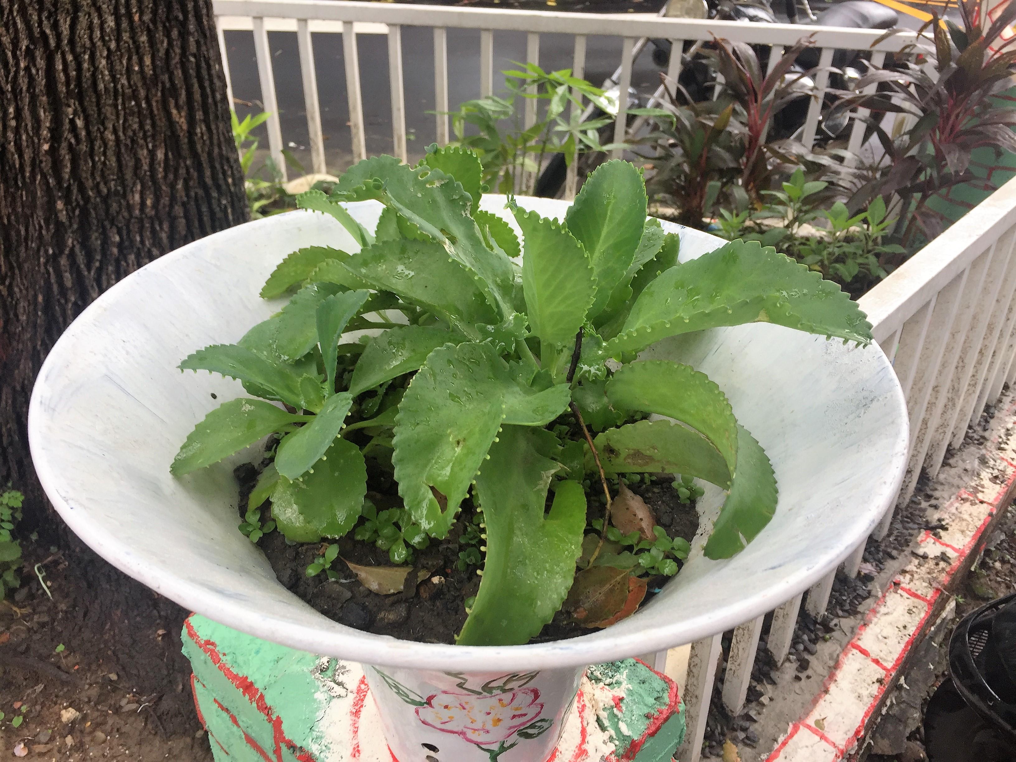 種植在「喇叭花盆」中的植物。攝影/孔祥智