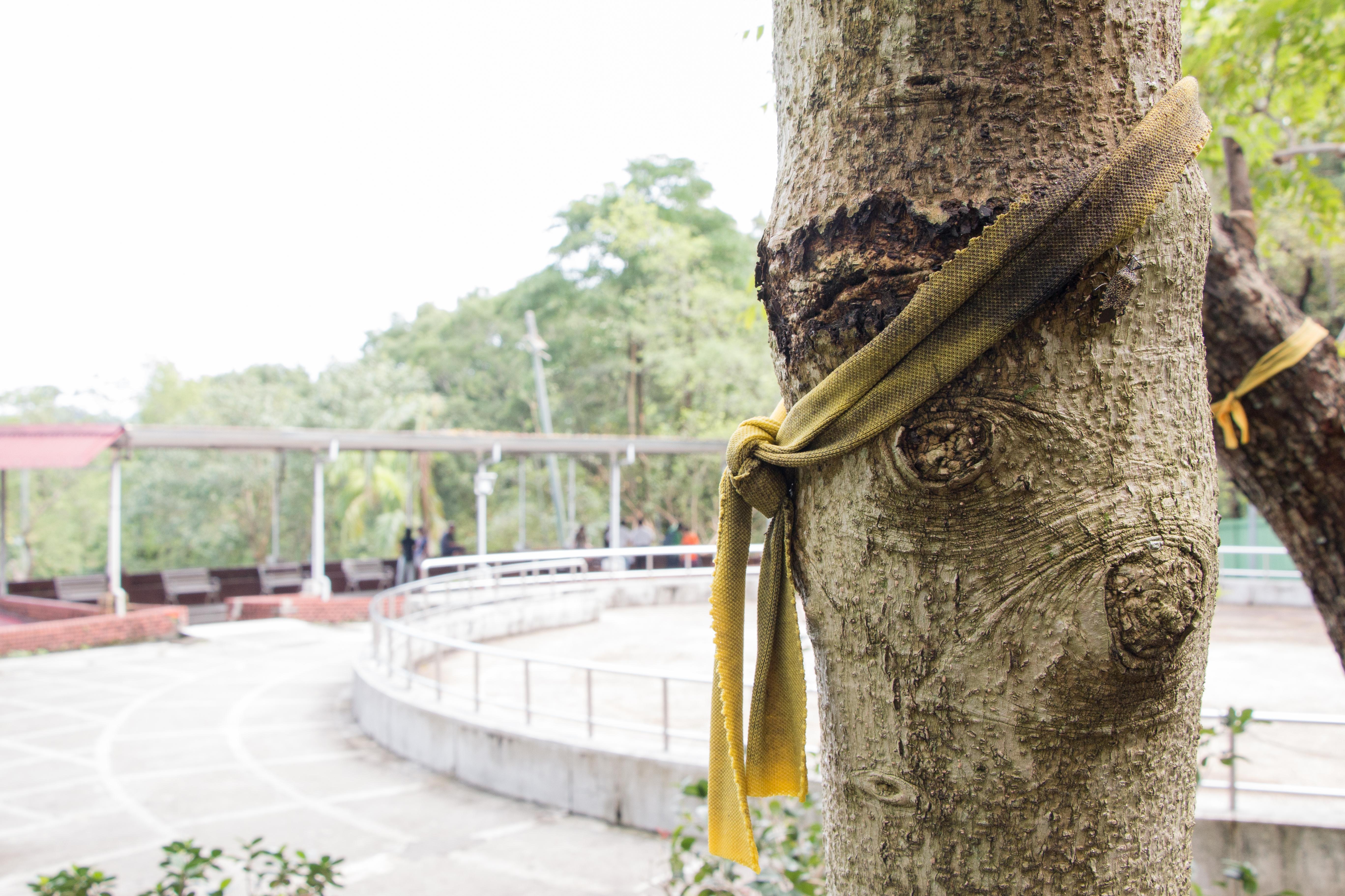 小城社區居民發起護樹運動,成立安坑護樹陣線,為樹木綁上黃絲帶祈福。
