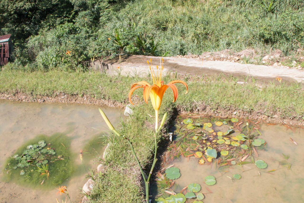 復育中的梯田栽種各式植物,以期能達成生物多樣性,圖為金針花。【攝影/李振均】