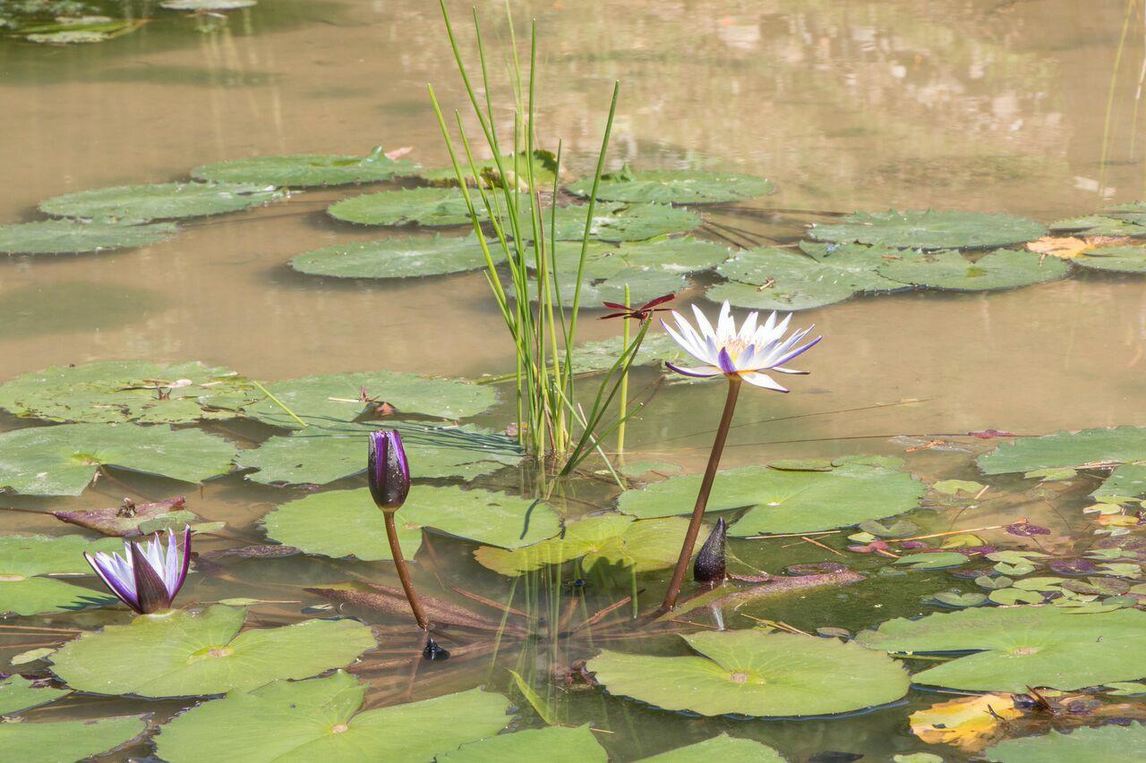 梯田內動植物種類繁多,蜻蜓棲息在荷花上。【攝影/李振均】