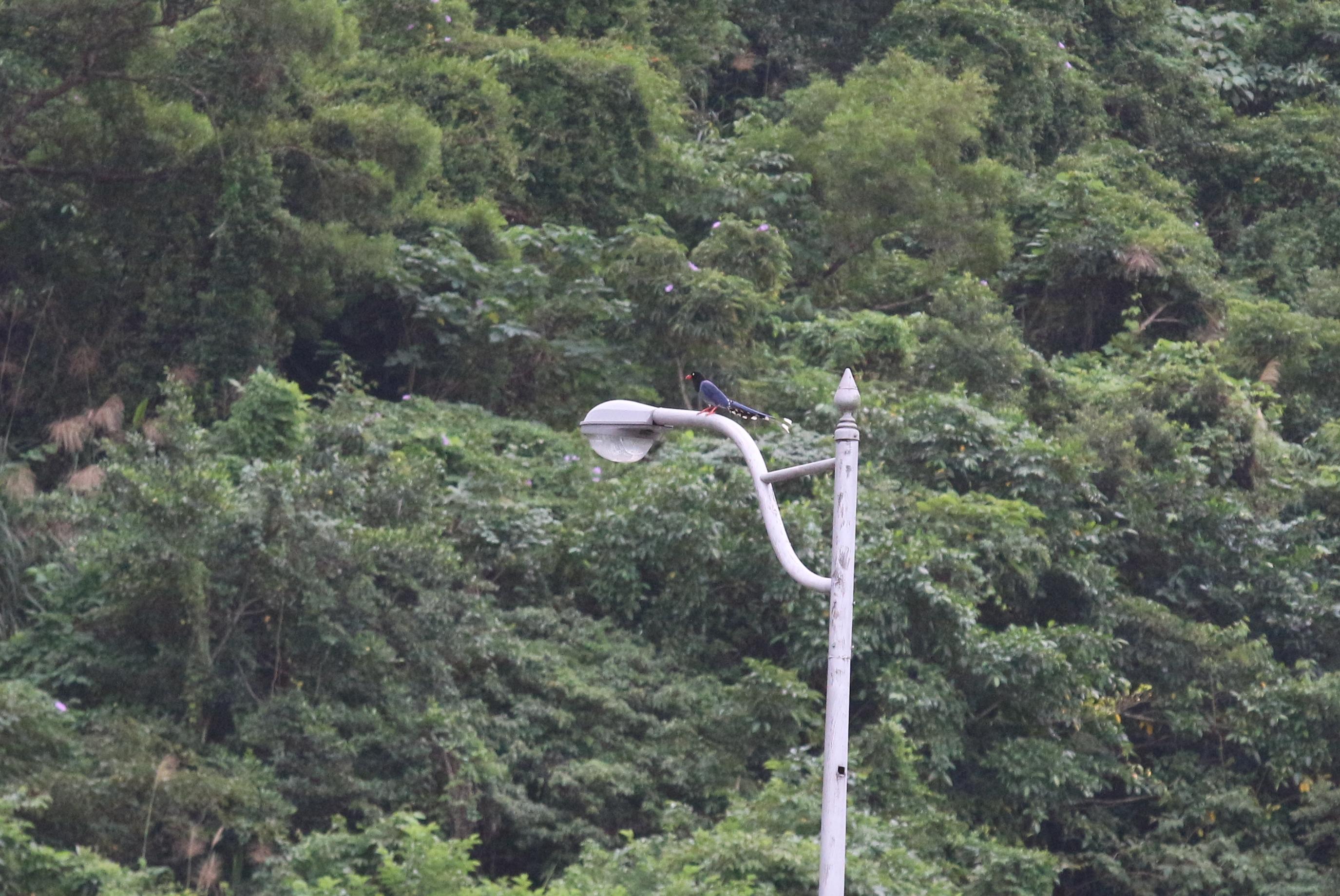 台灣藍鵲。 攝影/吳冠輝