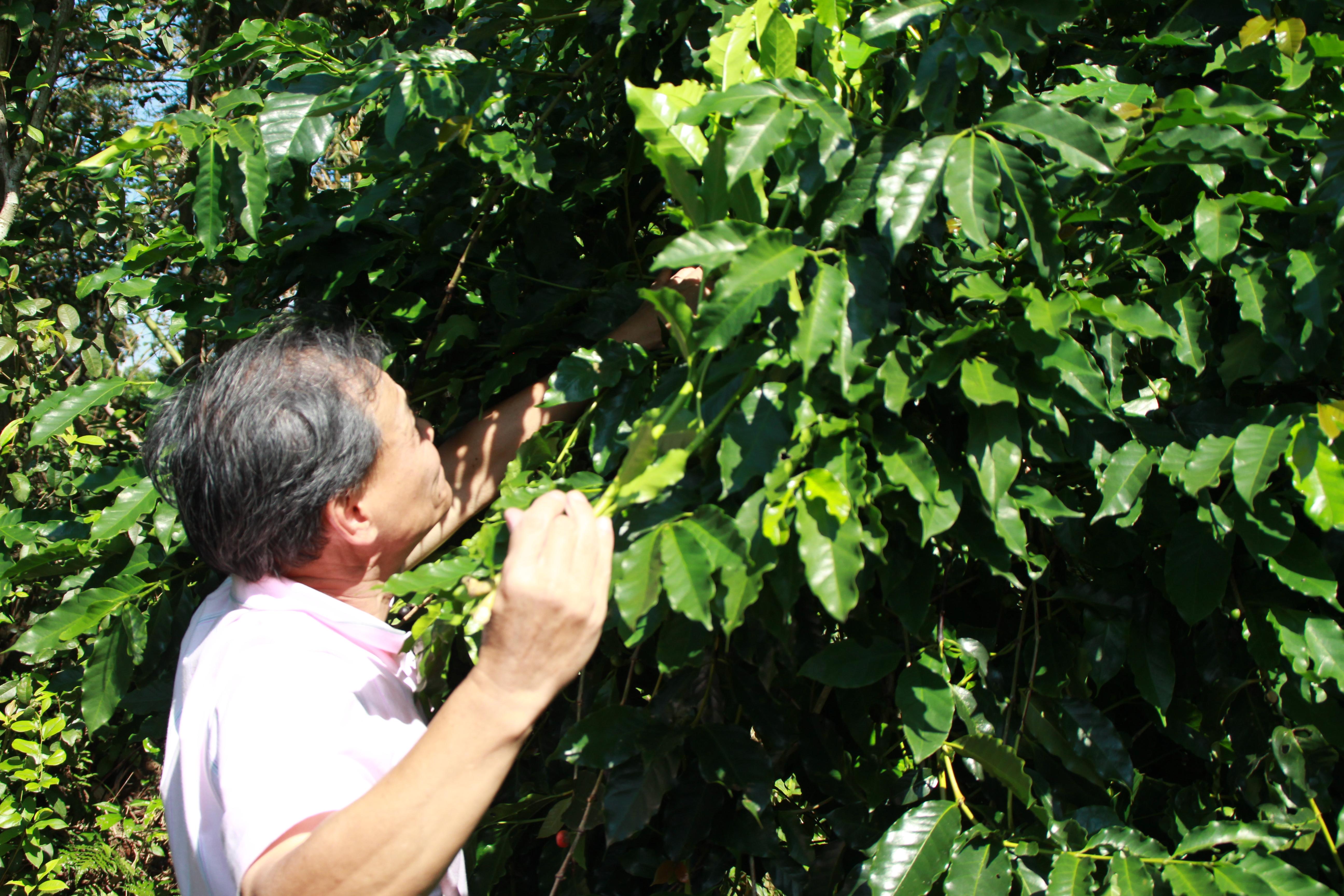 創辦人高福勝,親自為咖啡樹整理枝葉,驅逐害蟲,見其用心之處。攝影/邵永輝