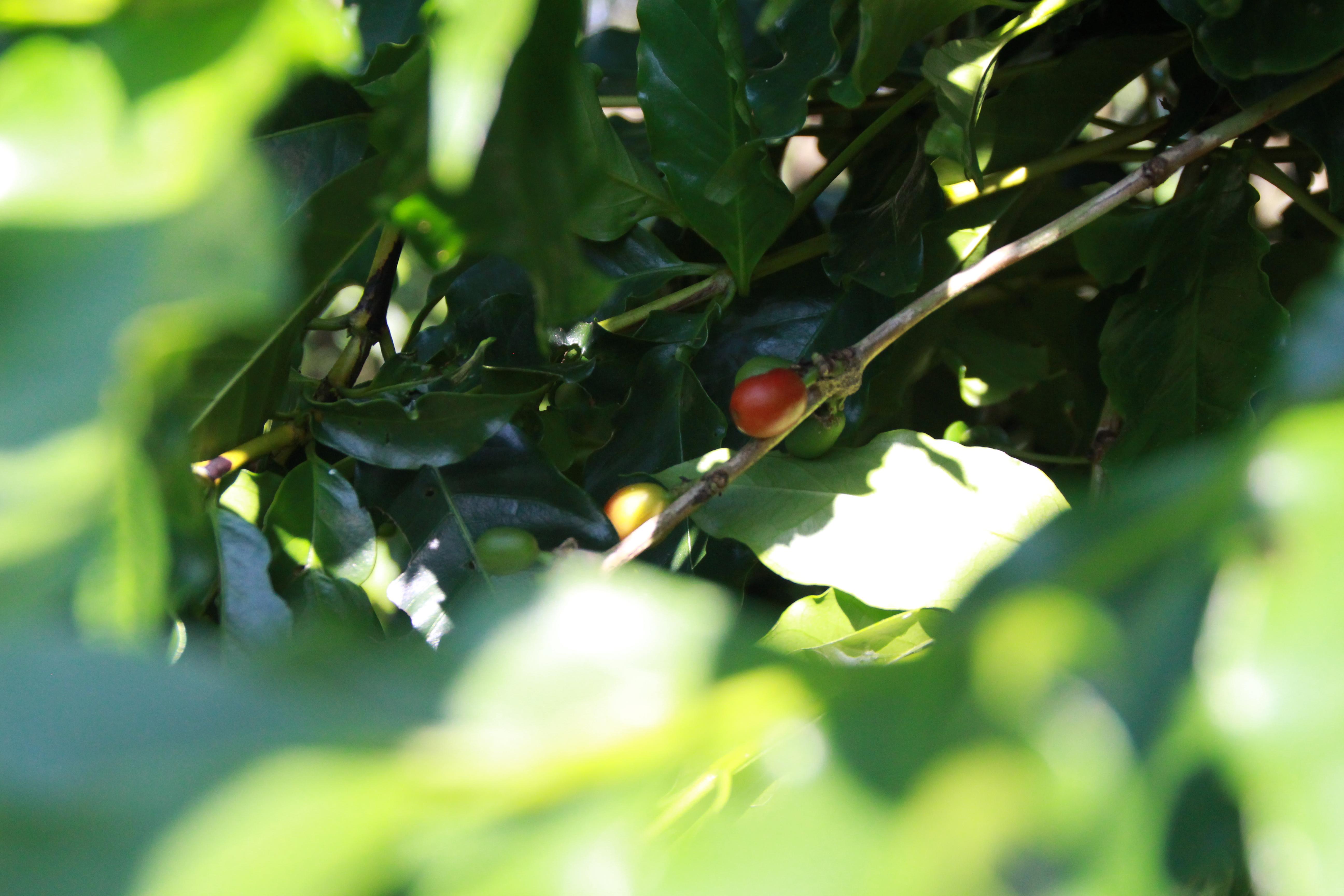 景美咖啡園栽種咖啡豆,果實大又紅潤。攝影/邵永輝