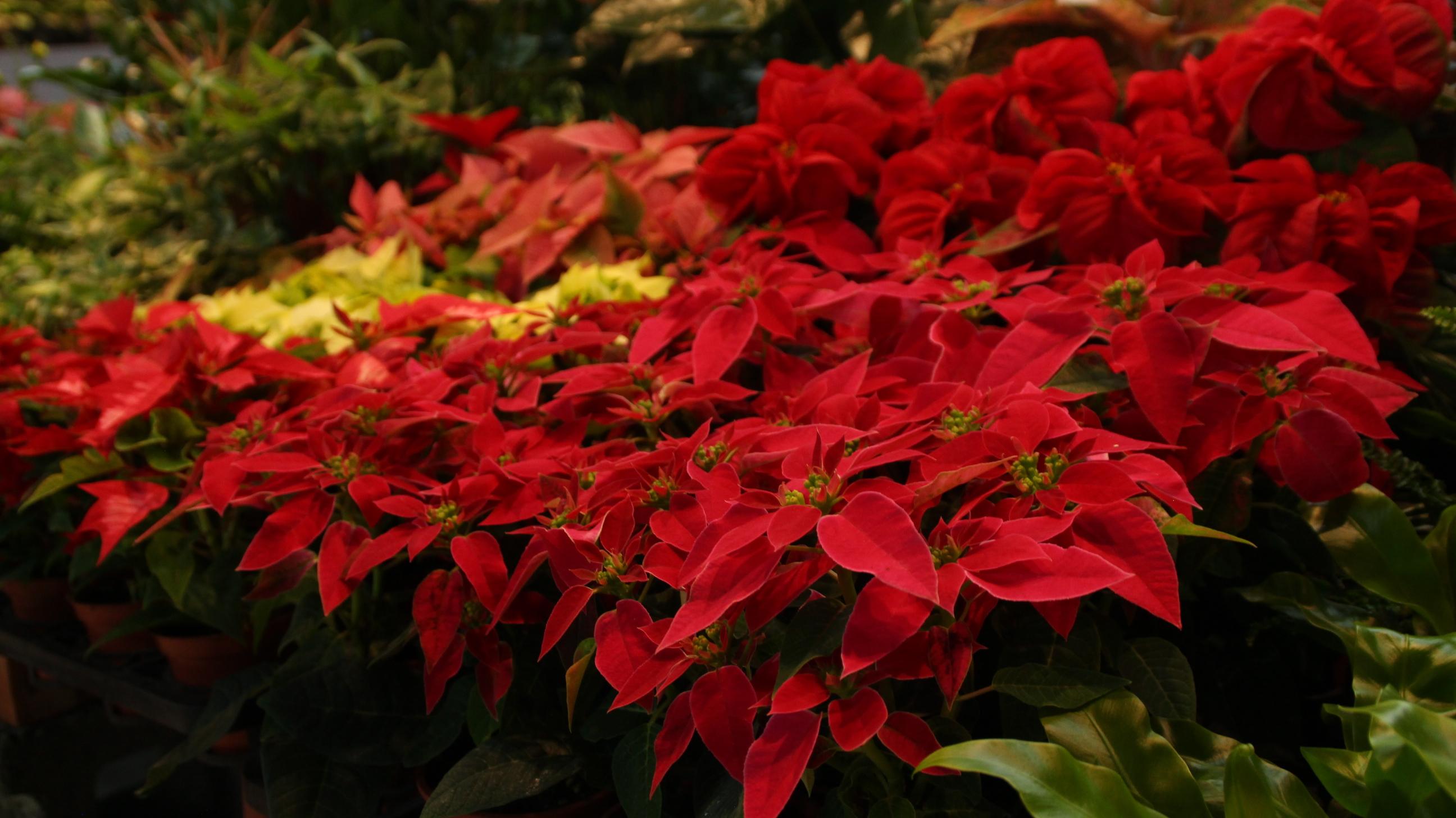 聖誕節將近,許多業者把握商機,陳列相關商品供民眾參觀選購。 攝影/林冠宇