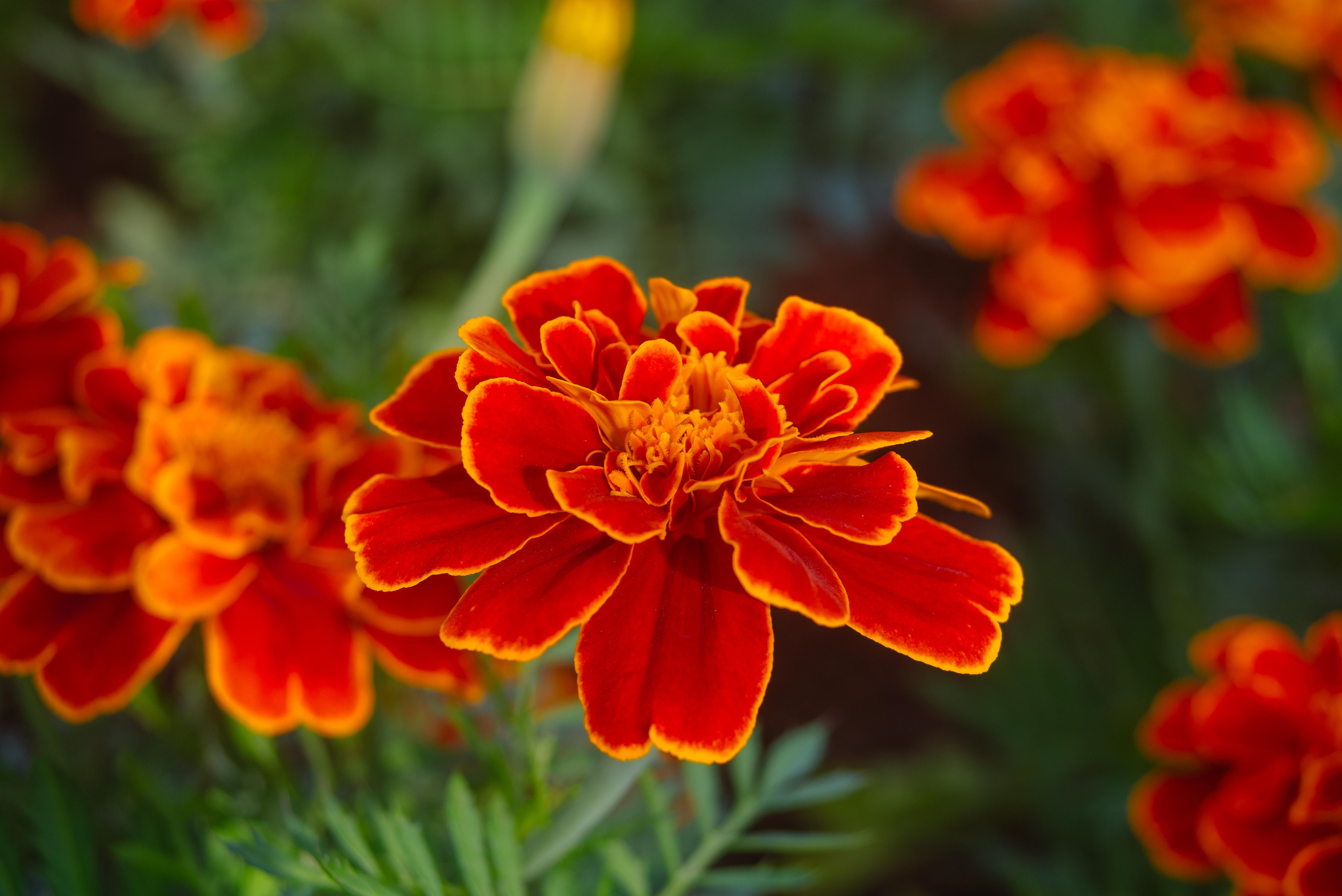 雖然菊展還沒有開始,士林官邸裡的菊花已經美麗綻放。攝影/林梓晴