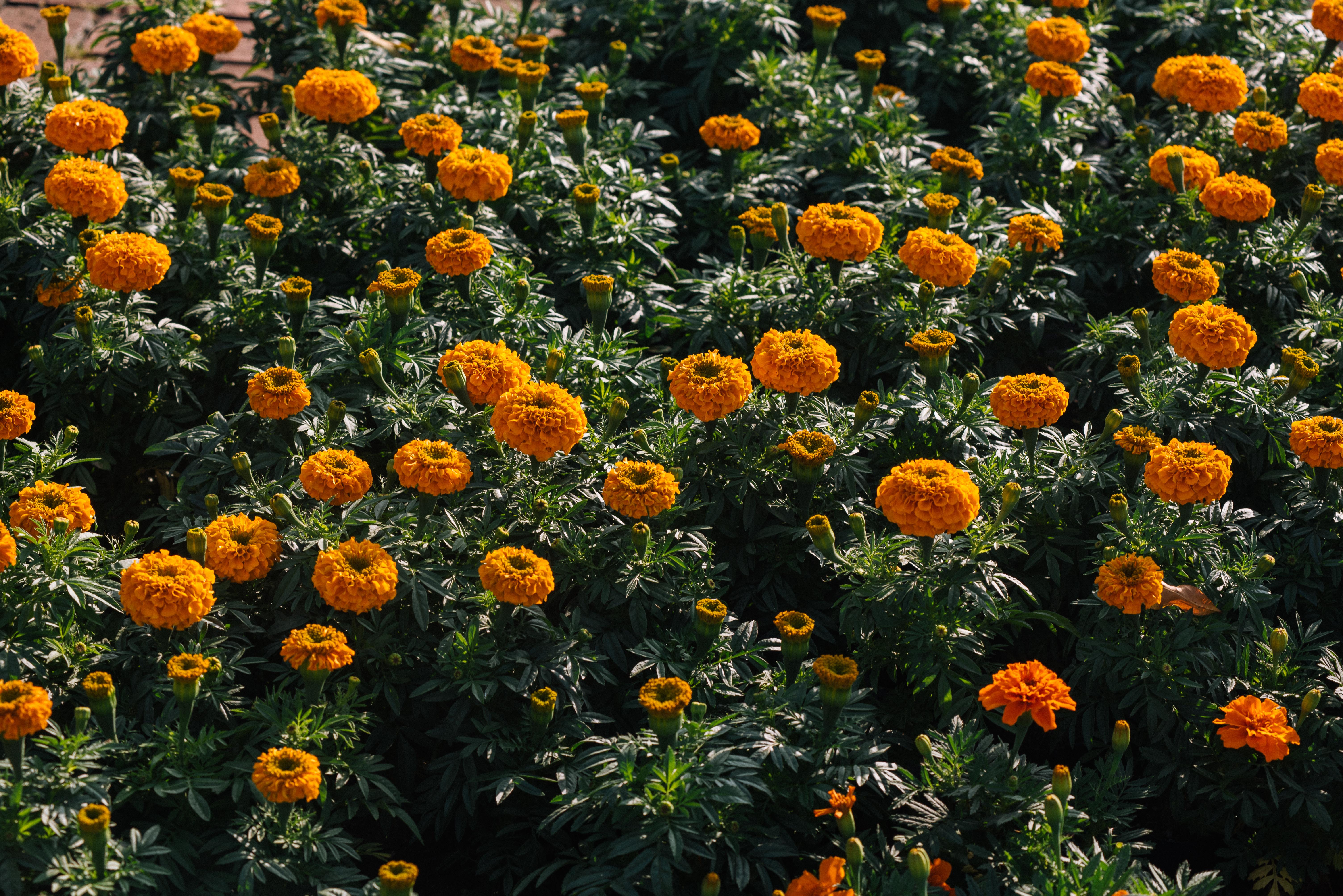菊花顏色鮮艷,顛覆過往柔美、單調的刻版印象。攝影/林梓晴