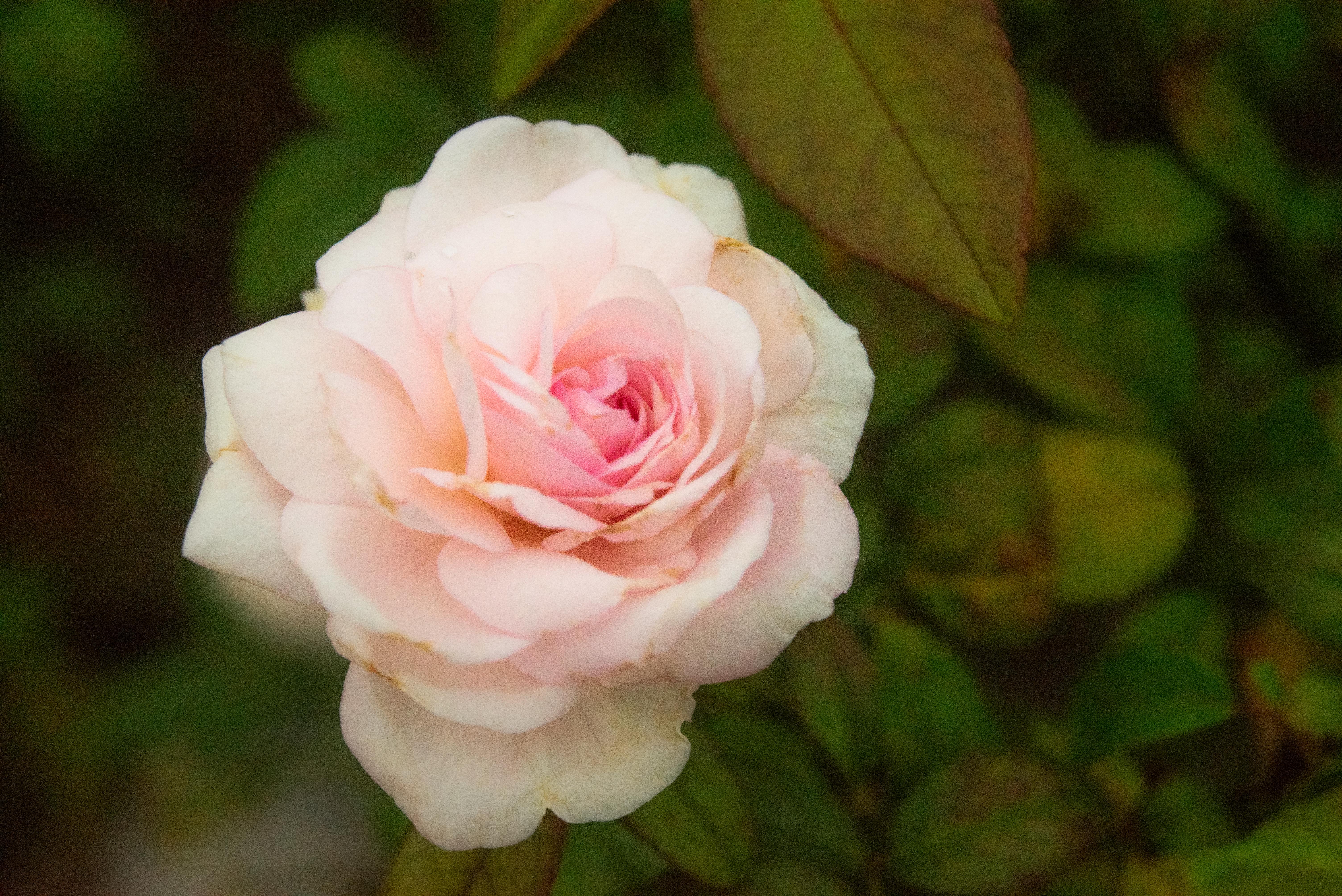粉紅玫瑰花語:感動、愛的宣言、銘記於心、初戀,新人藉此寄托兩人的戀愛。攝影/林梓晴