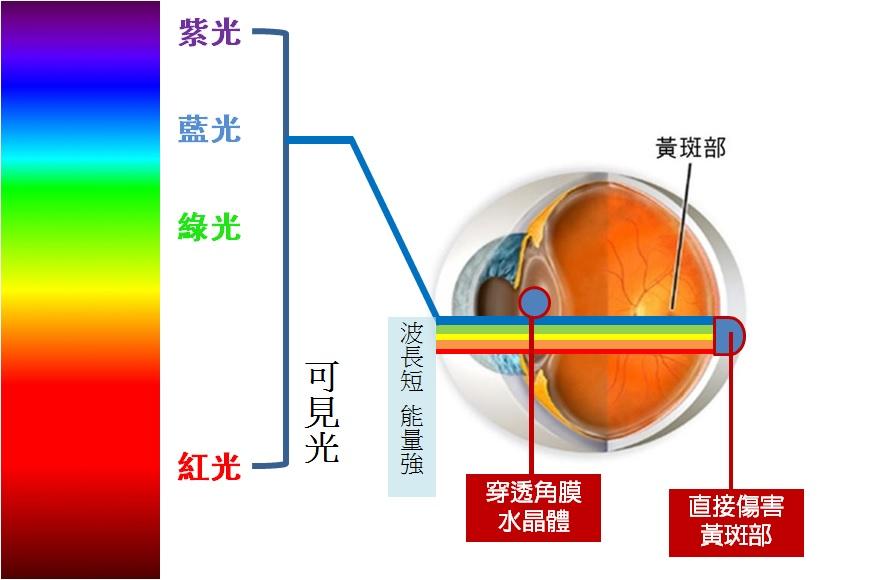 藍光是能量最強的可見光,長時間使用3C產品可能造成黃斑部病變。製圖/黃俐禎