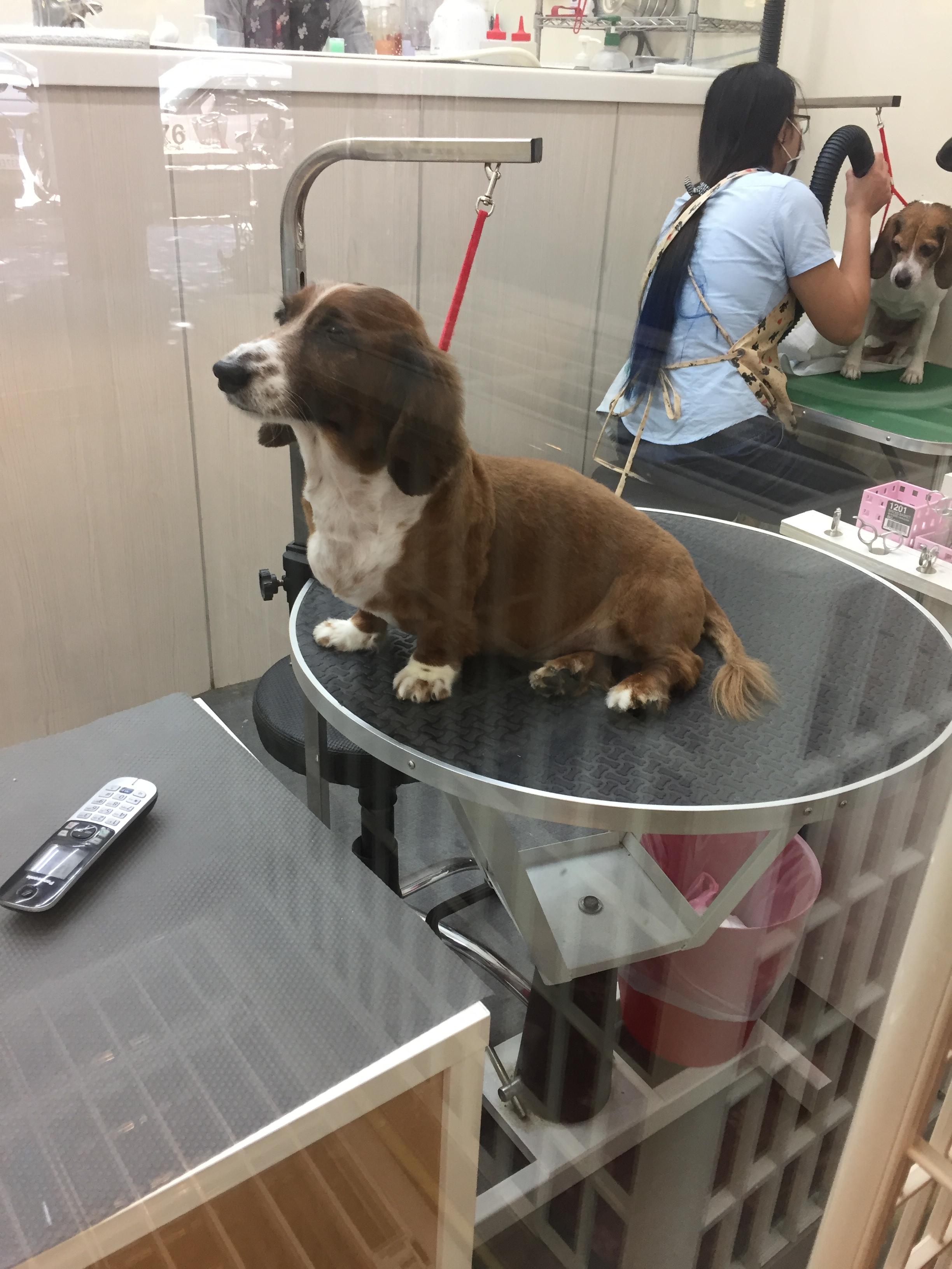 在平台上等待美容照護的狗兒。攝影/潘幸暉