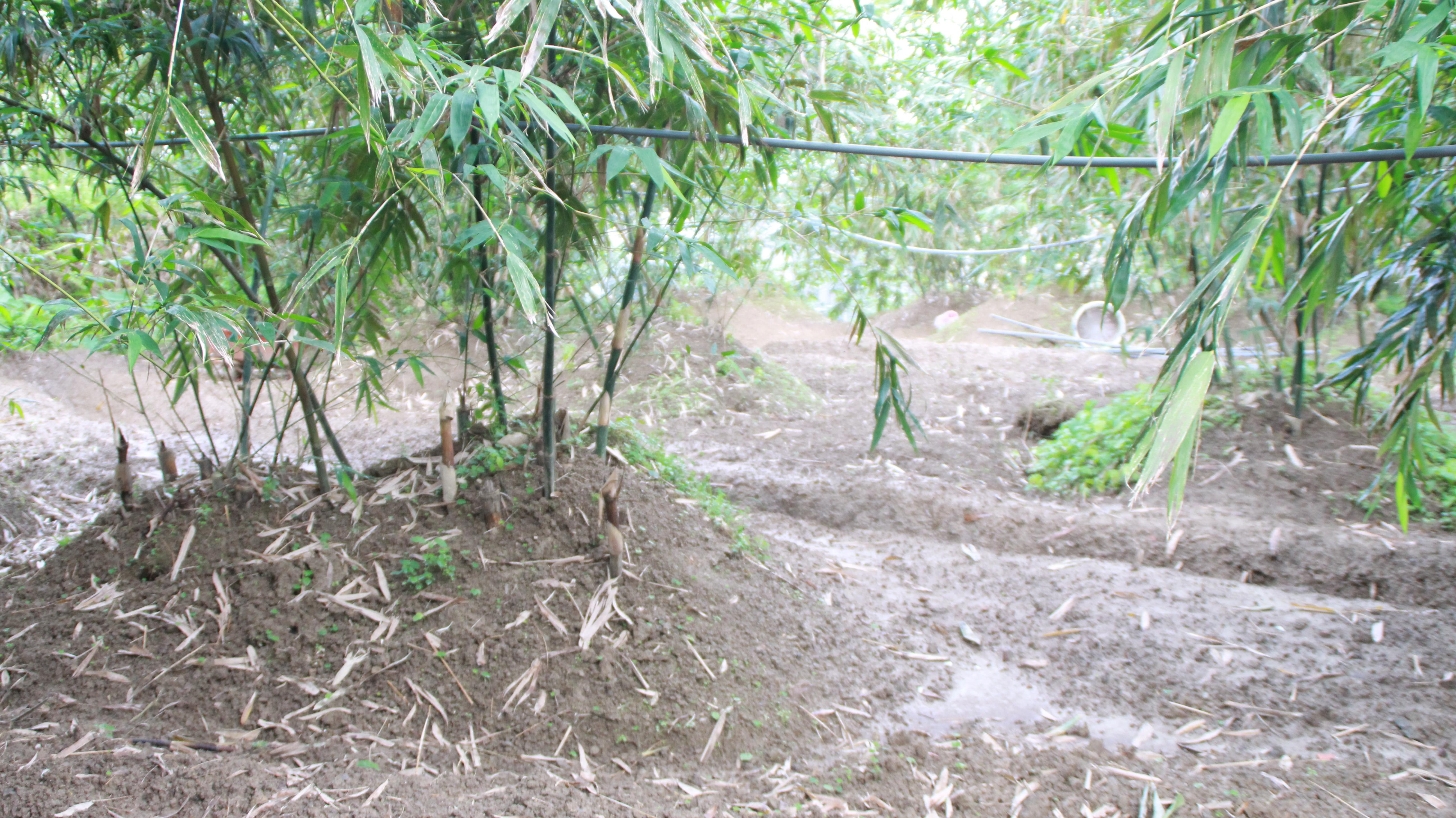 位於文山區山坡地農園,為鄭隆文先生自有耕地,以栽種綠竹筍為主。攝影/邵永輝