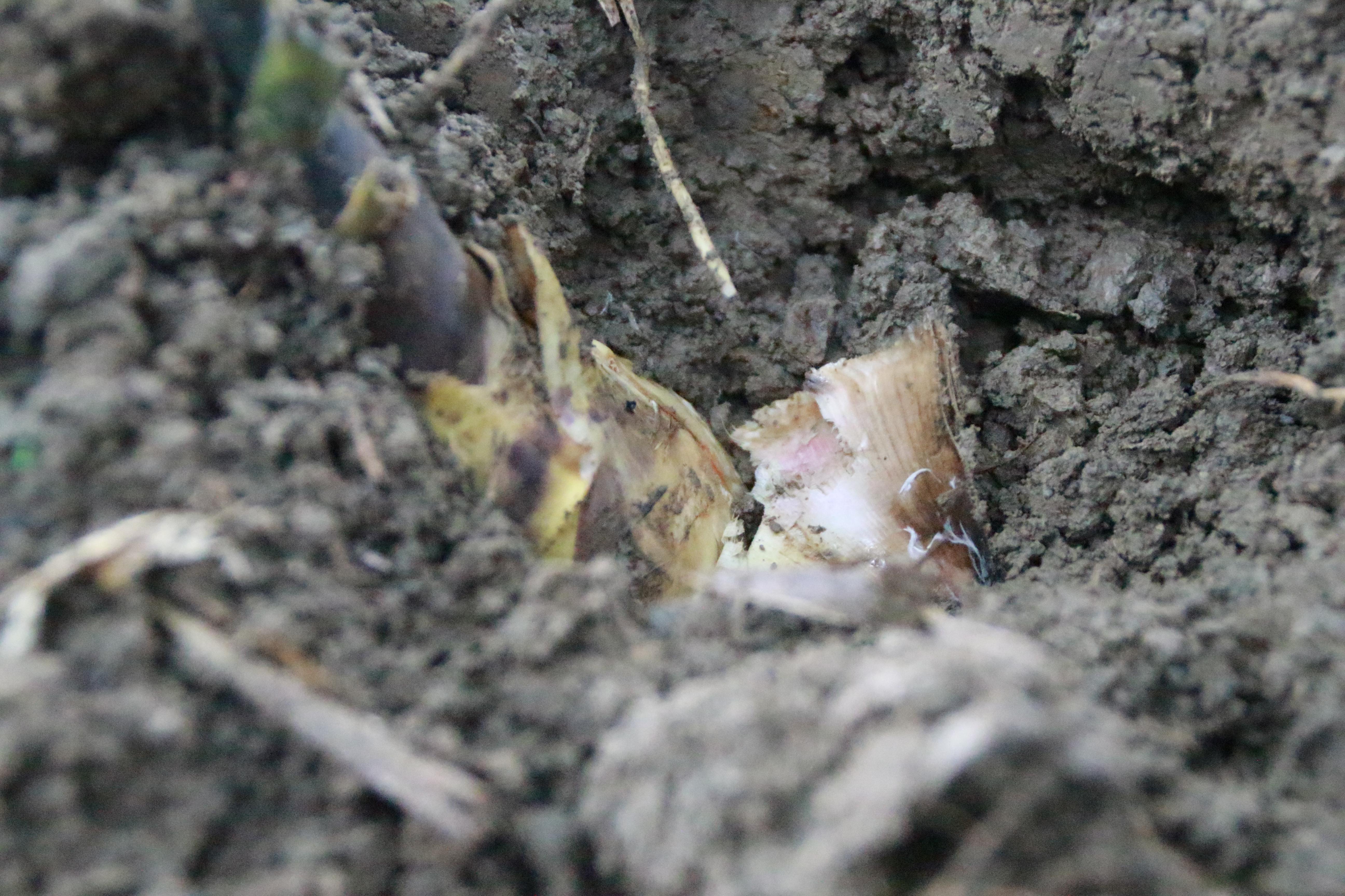 綠竹筍種植、收成週期短,農民需與時間賽跑。攝影/邵永輝