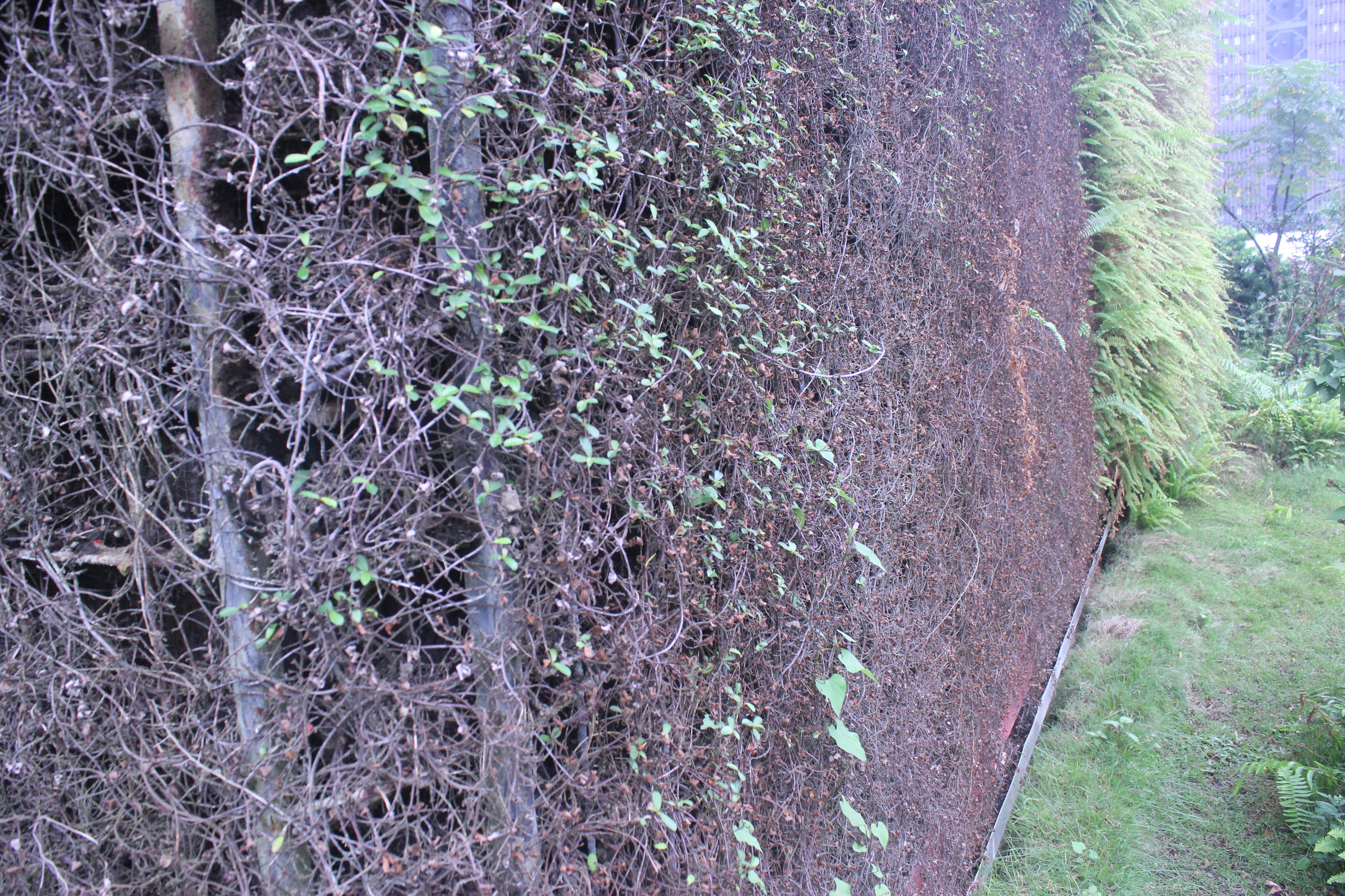 鐵架攀附的綠叢因水無法順利輸送導致枯萎。攝影/蔡家愷