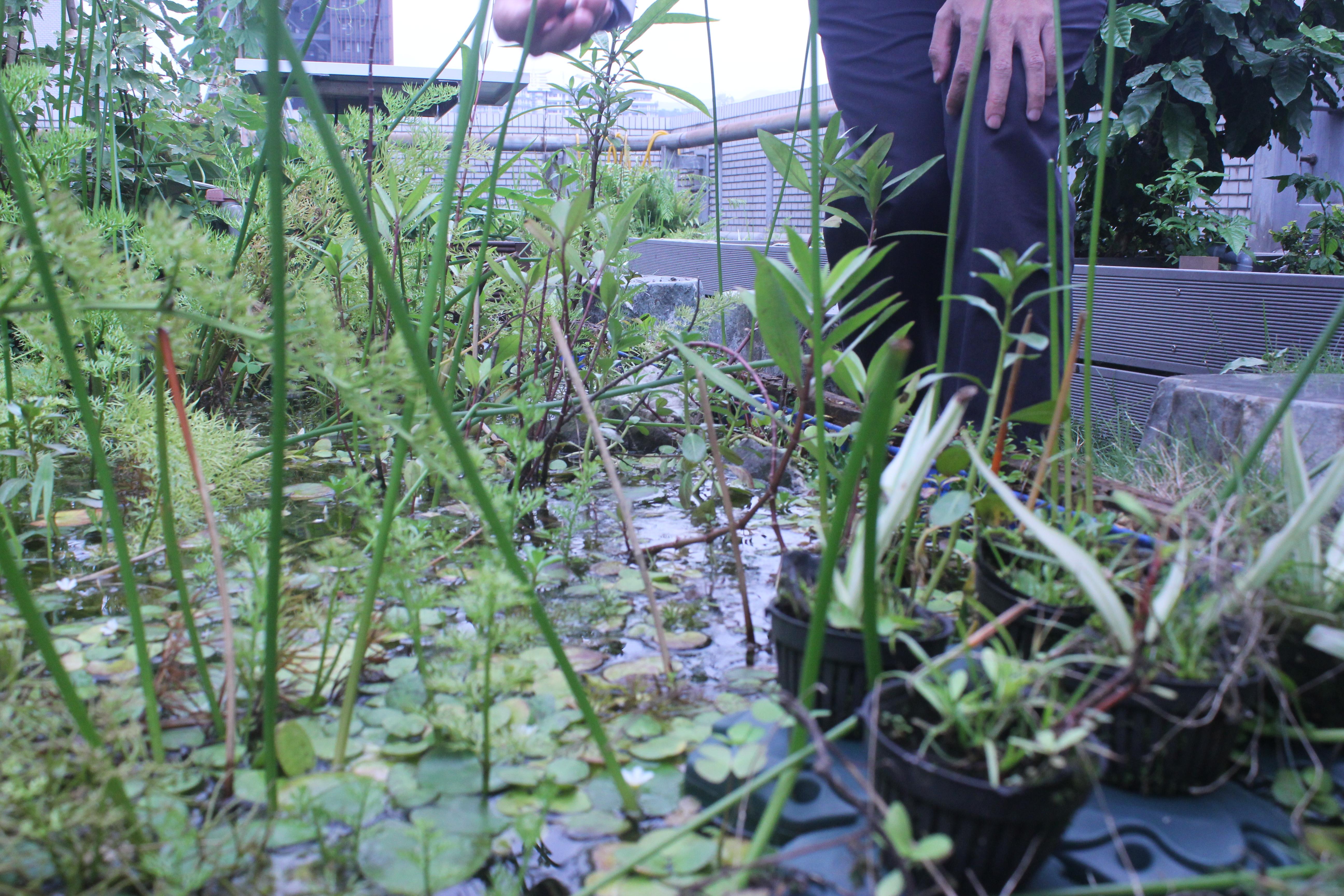 生態區中的小型生態池。攝影/蔡家愷