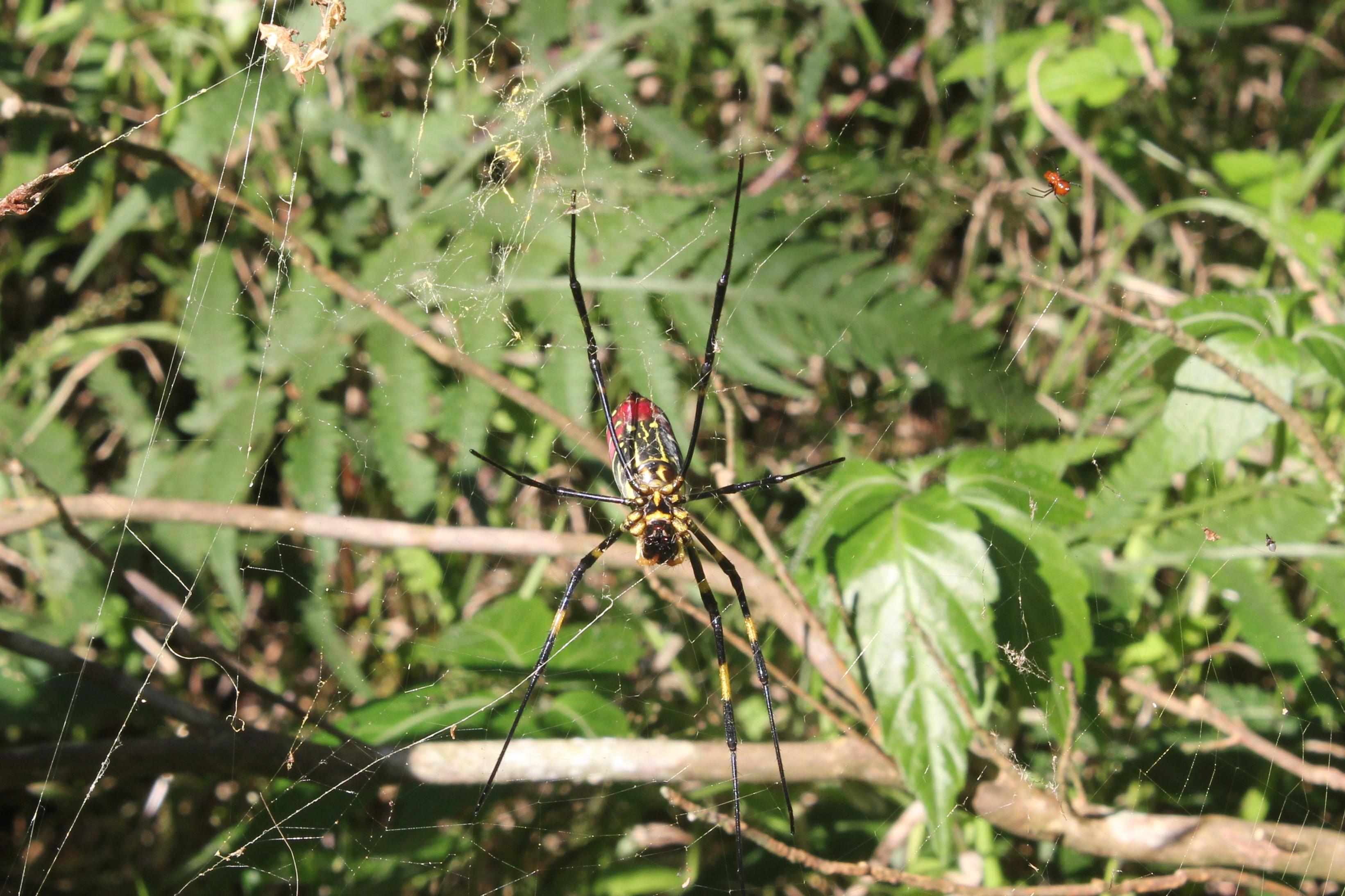 小人面蜘蛛充斥路旁樹叢,顯現其園區內豐富的生態。攝影/蔡家愷