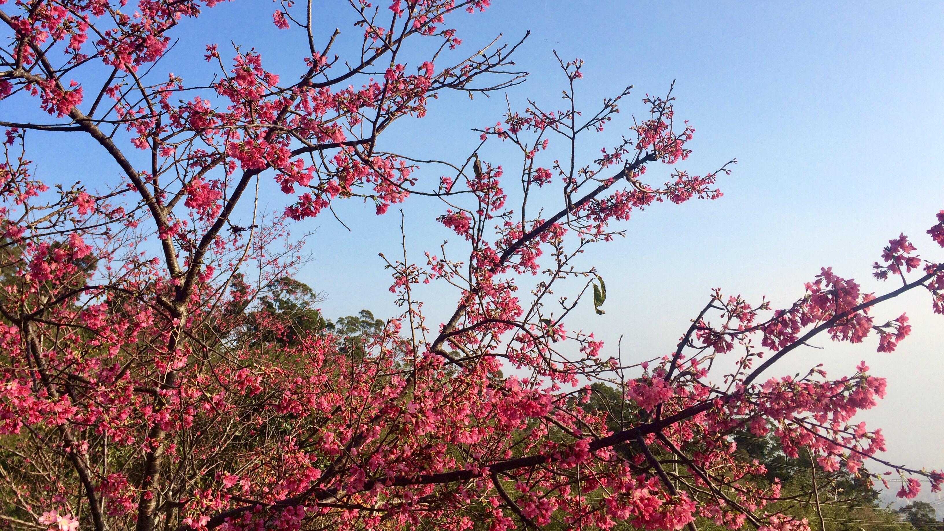 東湖樂活公園櫻花。攝影/董怡均