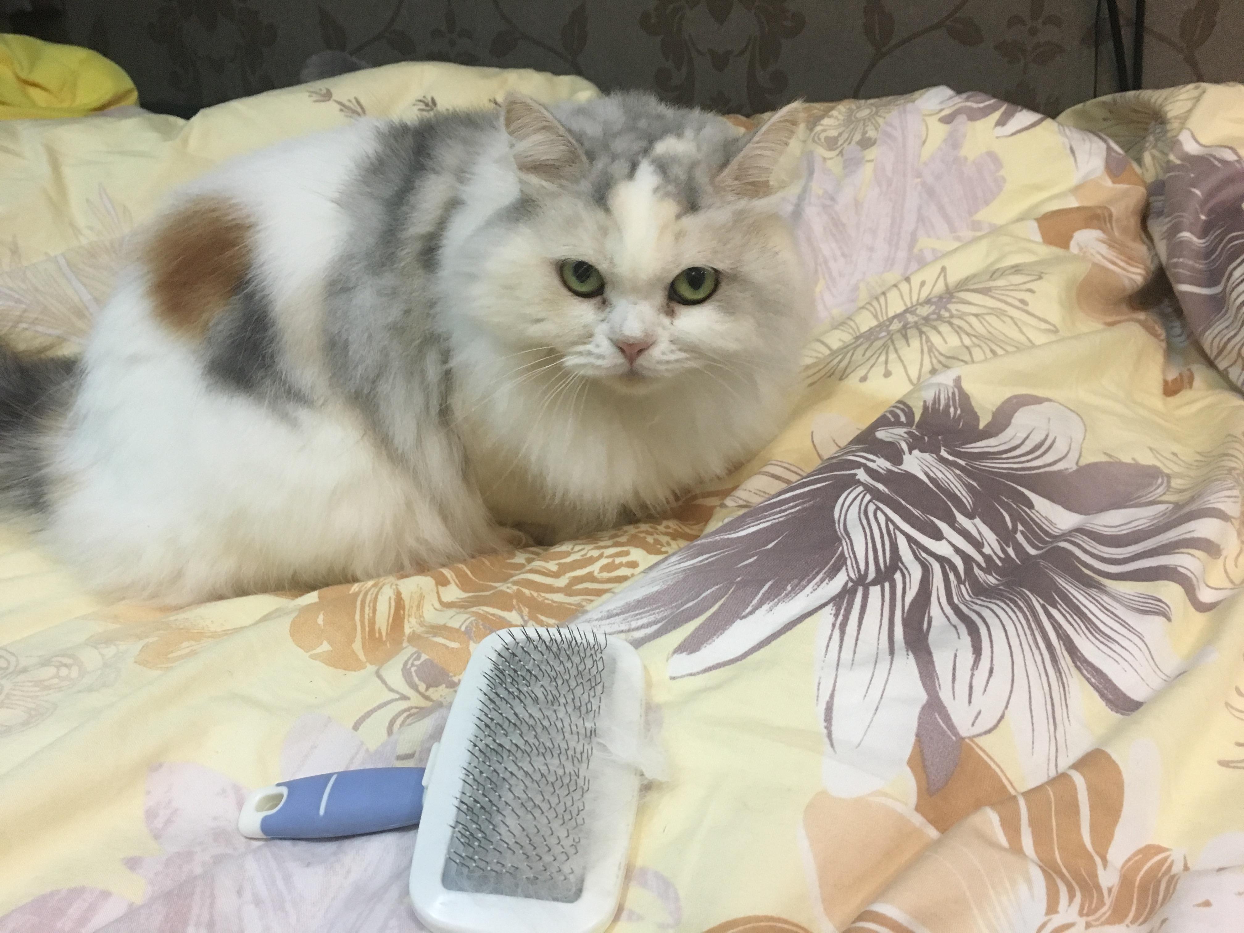 長毛貓與梳毛專用的寵物梳子。攝影/沈鈺琪