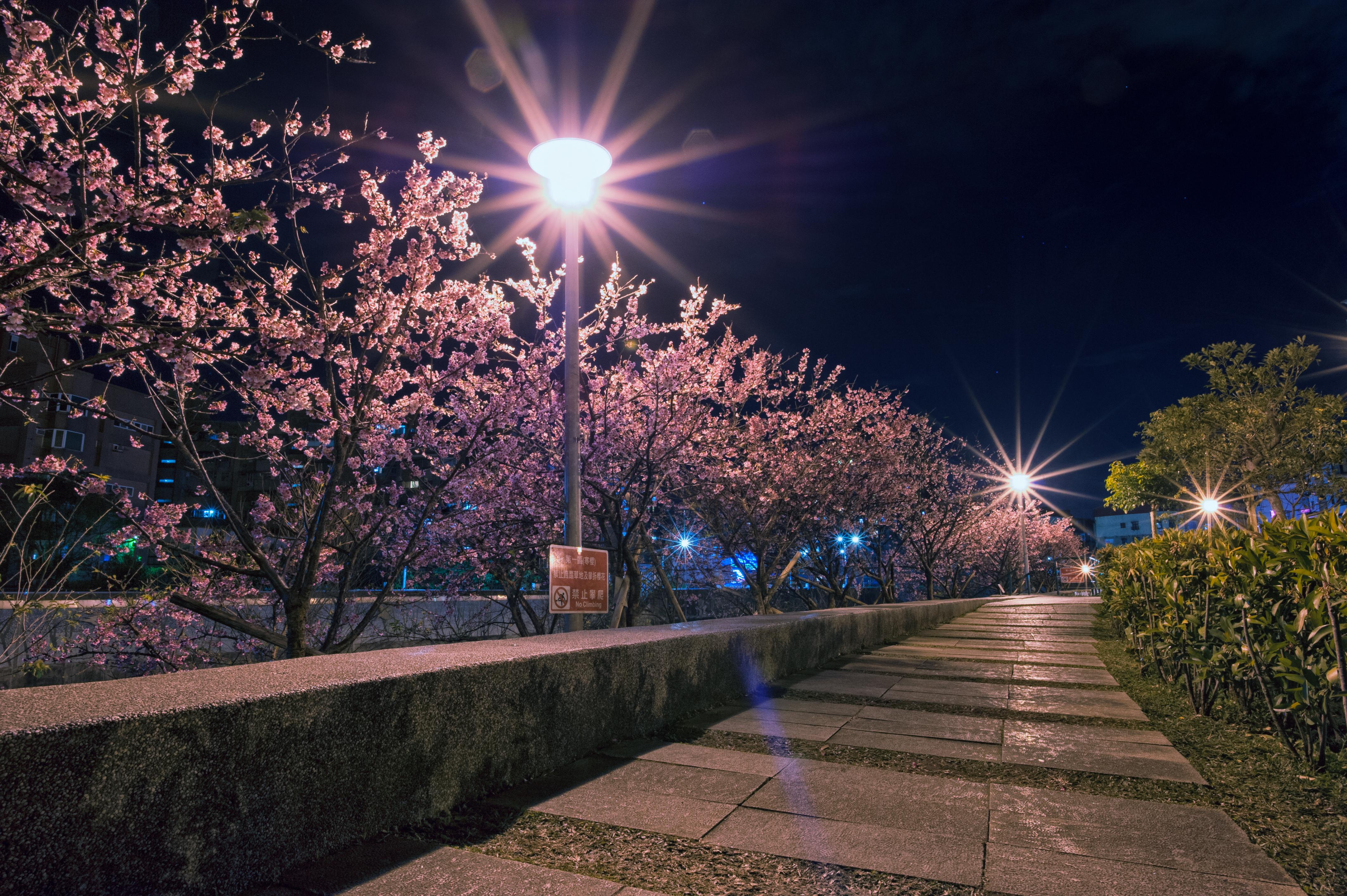北投復興三街夜櫻