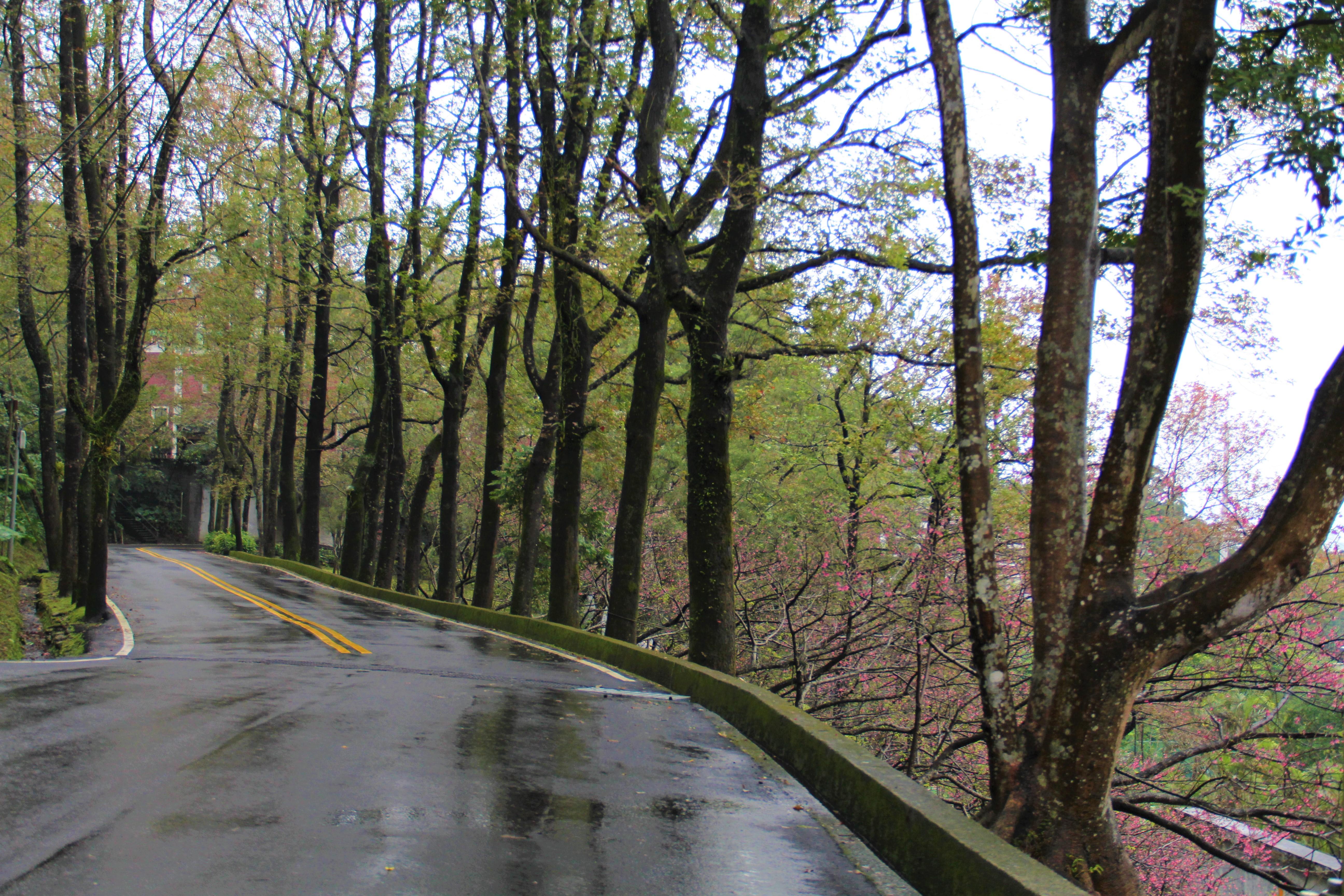 今年櫻花季雖碰上連日多雨,不過即將到來的油桐花季仍然相當值得期待。 攝影/蘇媚