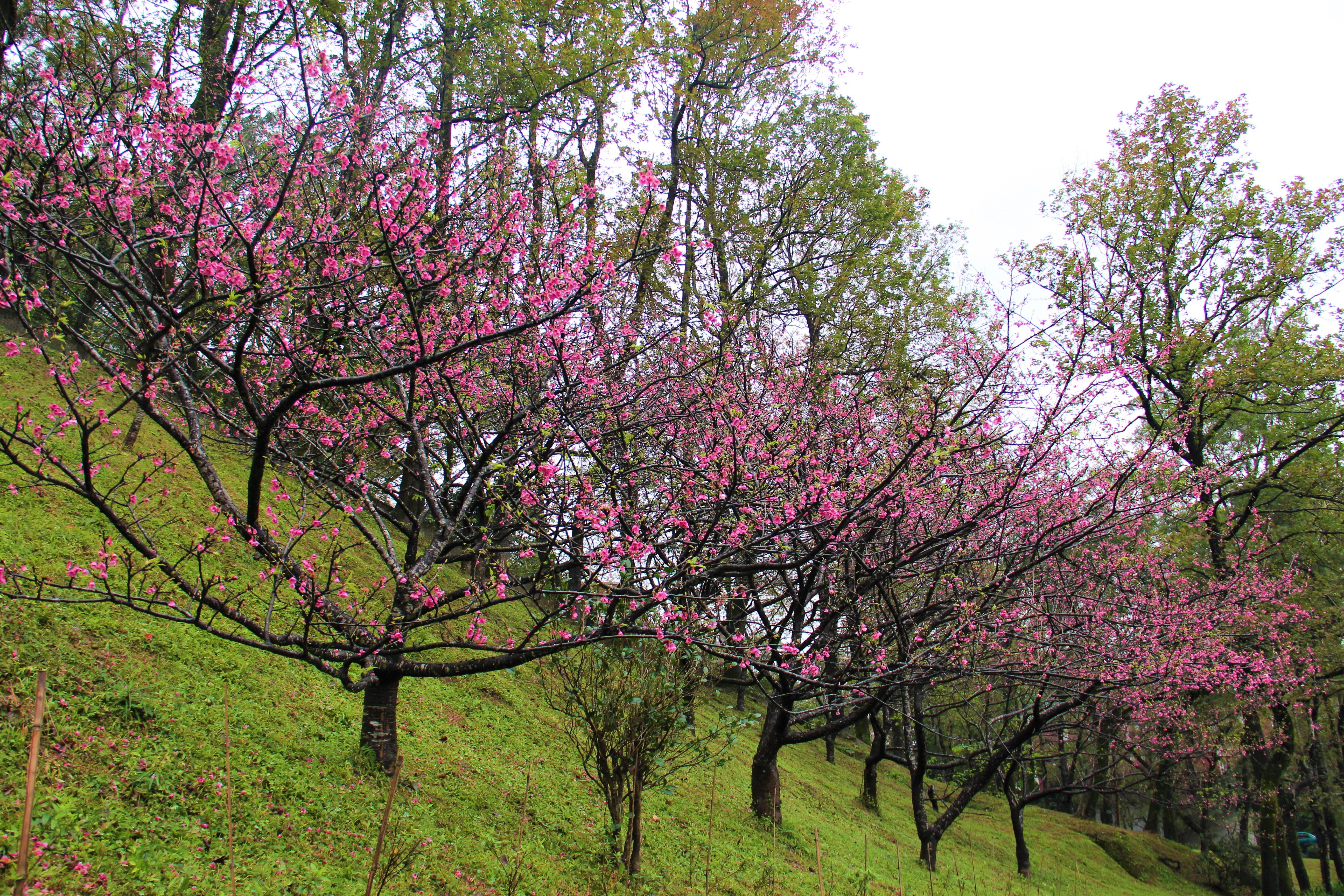 一年一度的櫻花季,花園新城綻放美麗多樣的櫻花。 攝影/蘇媚