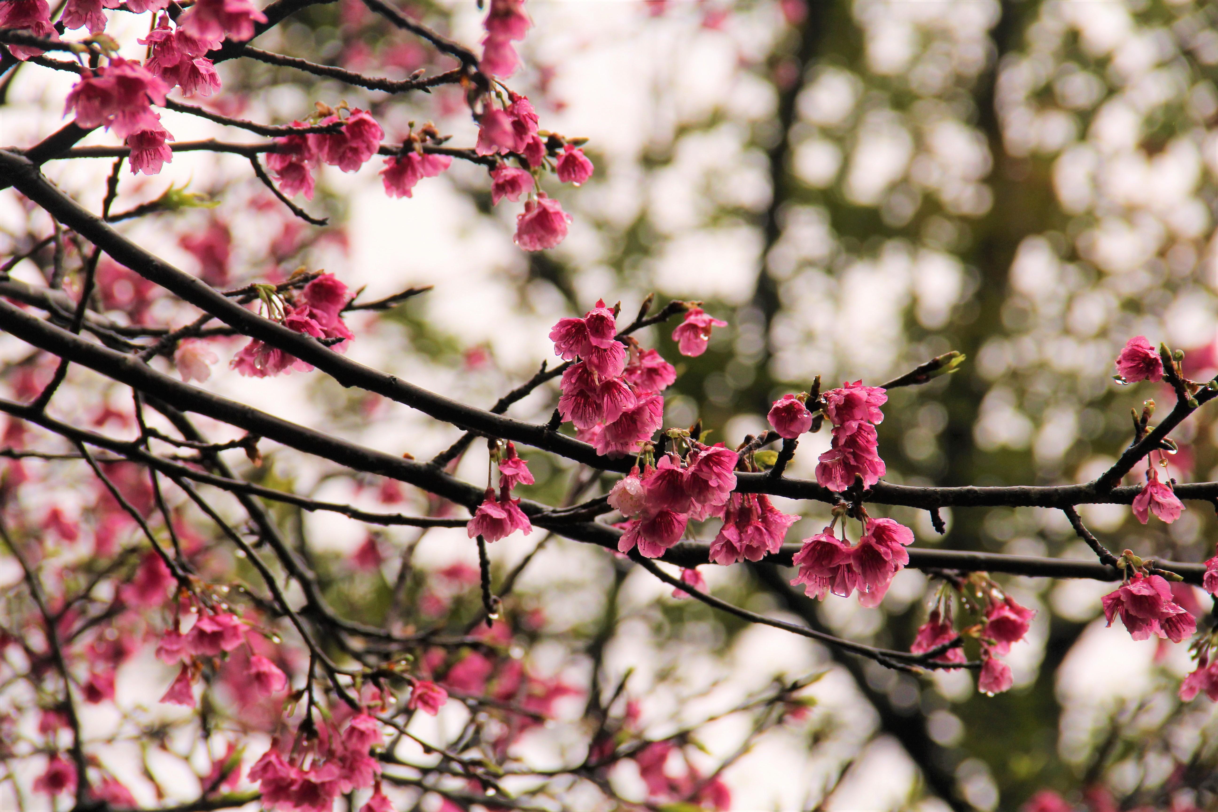 花園新城所種植的櫻花樹枝幹較低垂,與到訪的遊客顯個更加親近。 攝影/蘇媚