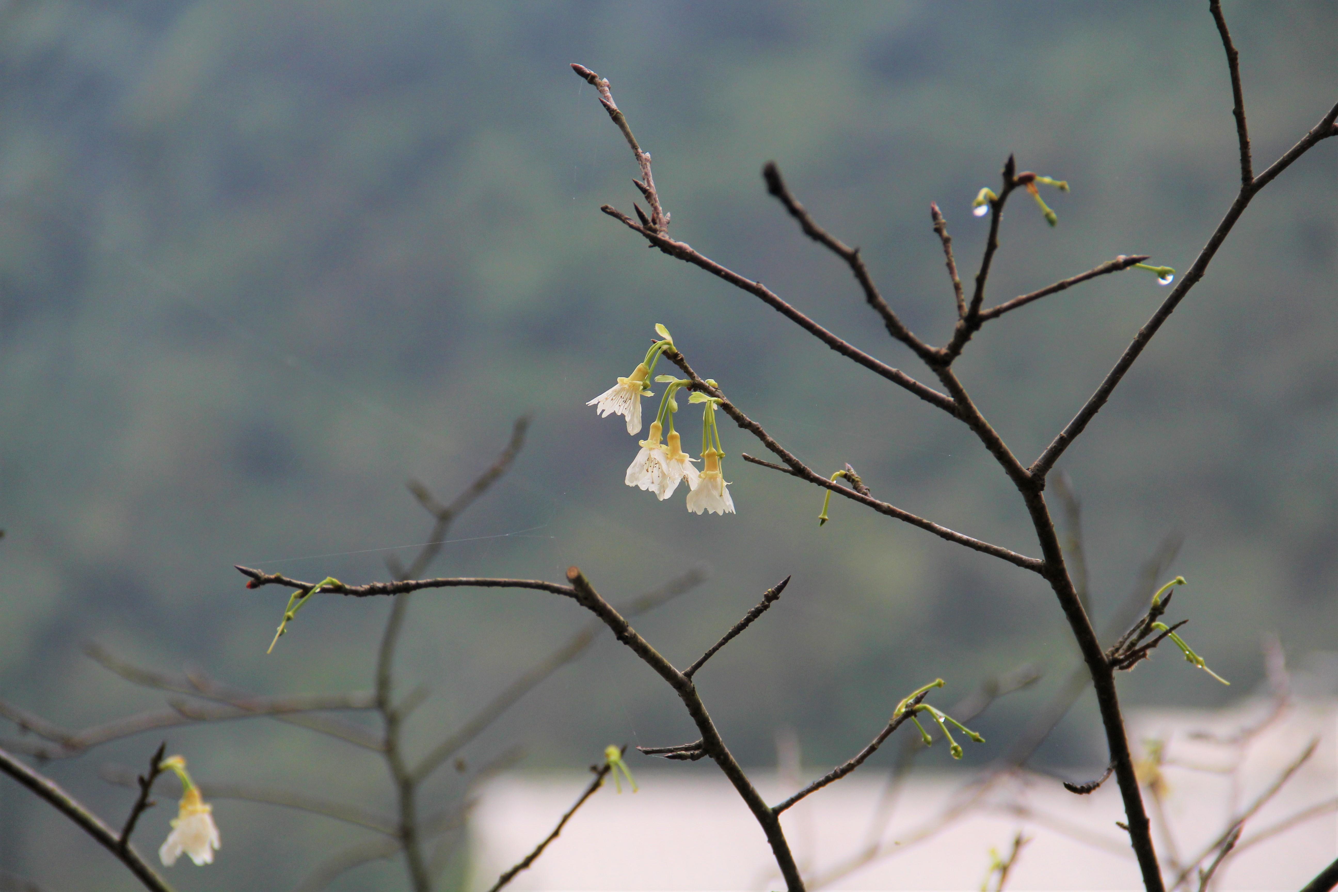 花園新城園丁別出心裁,嫁接出特別的白櫻花。 攝影/蘇媚
