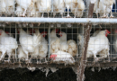 經濟動物友善飼養 重視動物福利