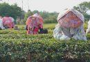 改種有機茶成典範 父子傳承永續土地